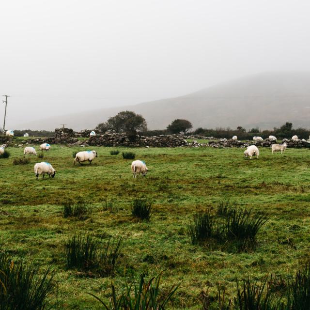 """Flock of sheeps grazing in green field"" stock image"