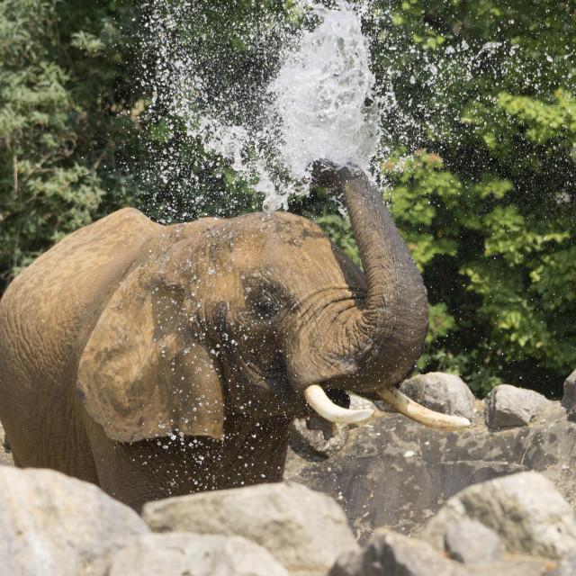 """Elephant Bath Time"" stock image"