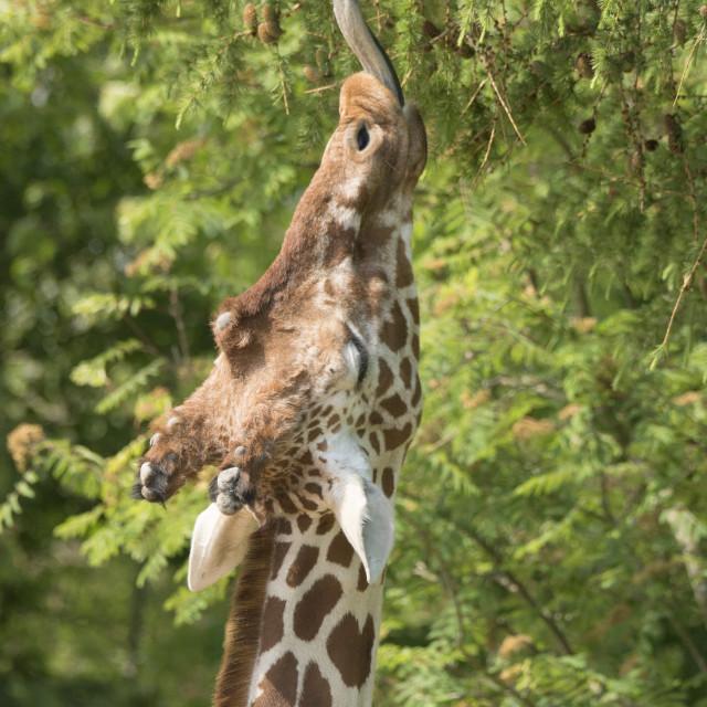 """""""Giraffe lunchtime."""" stock image"""