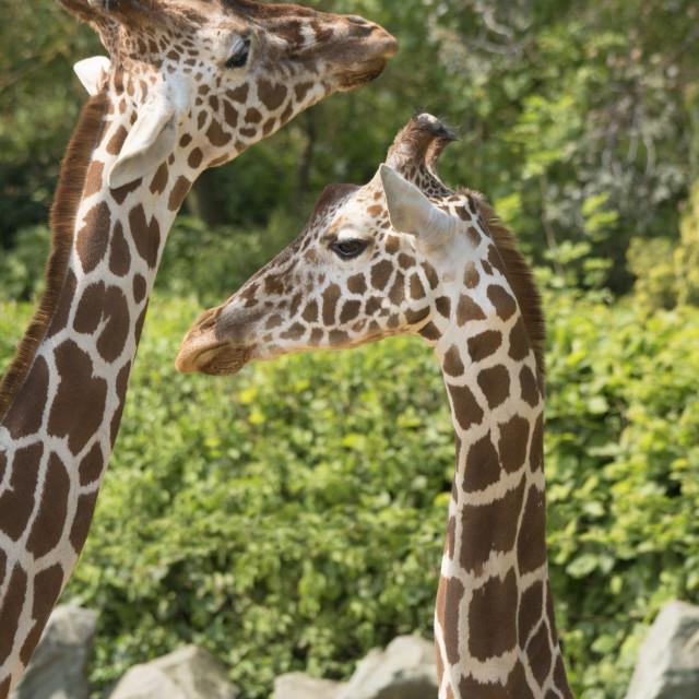 """""""Giraffe family"""" stock image"""
