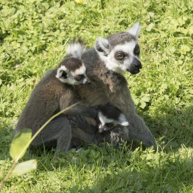 """Lemur family"" stock image"