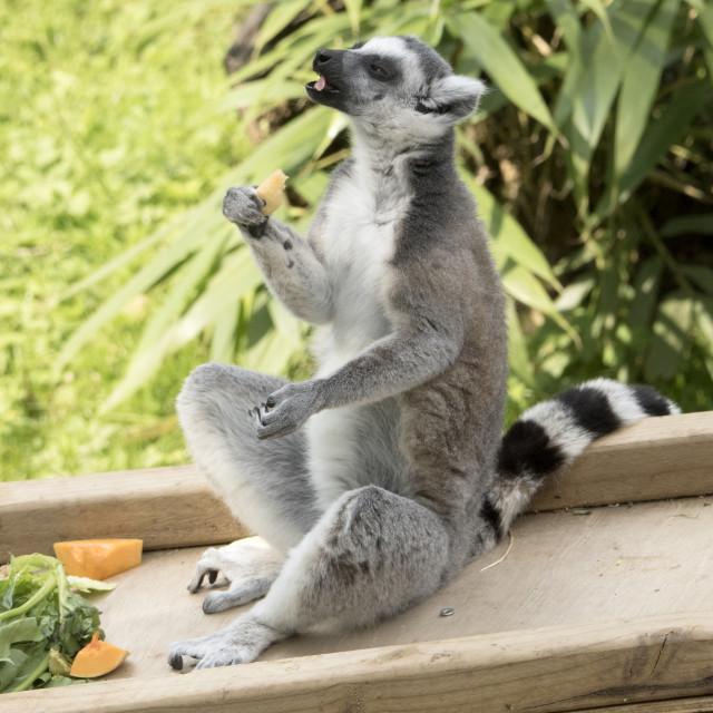 """Lemur lunch"" stock image"