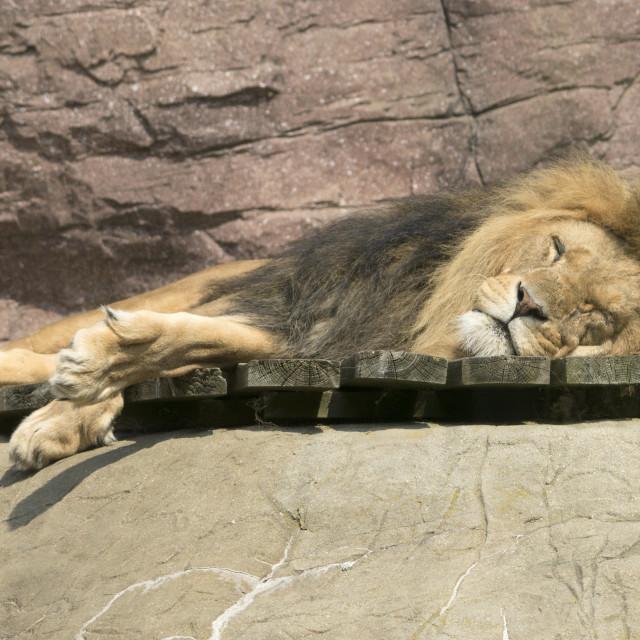 """Sleeping Lion"" stock image"