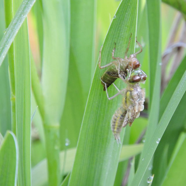 """""""Four-spotted Chaser Libellula quadrimaculata emerging"""" stock image"""