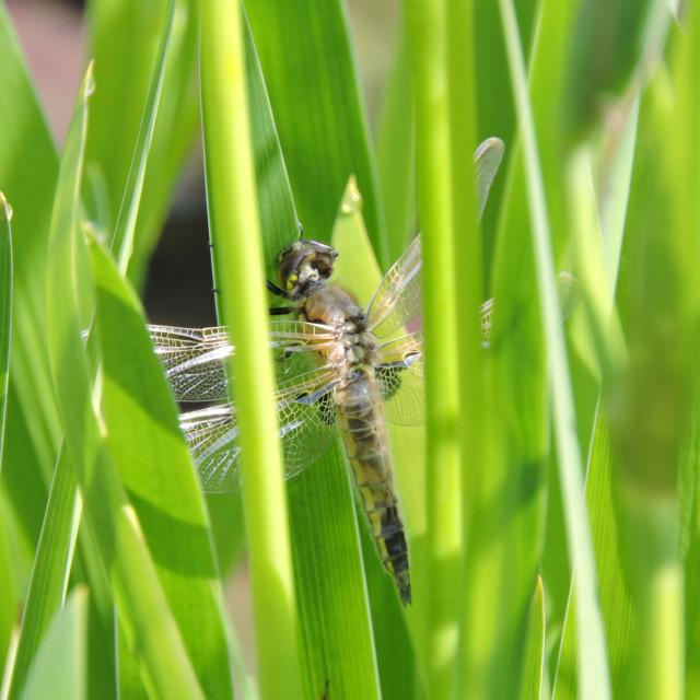 """Libellula quadrimaculata Perfect Four-spotted Chaser finished emergence"" stock image"