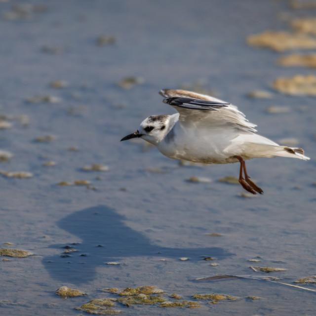 """Little Gull - Titchwell RSPB"" stock image"