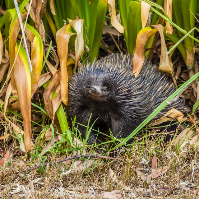 """Echidna smiling."" stock image"