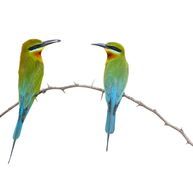 """Blue tailed bee eater Isolated on White"" stock image"