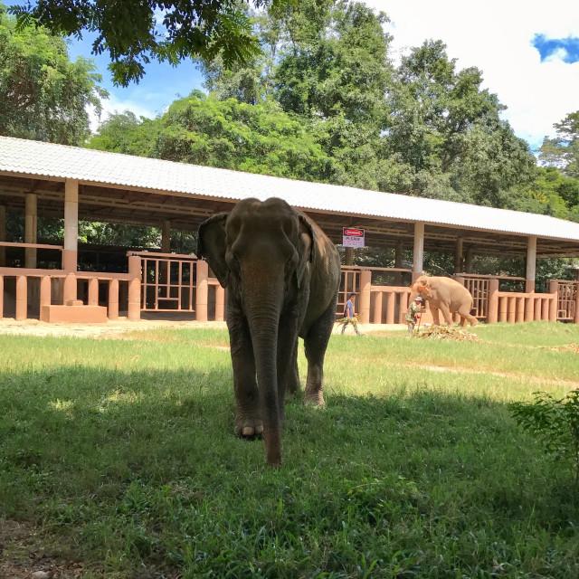 """Oncoming Elephant"" stock image"