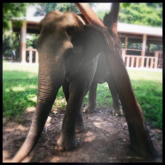 """Scratching Elephant"" stock image"