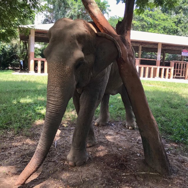 """Scratching Post Elephant"" stock image"