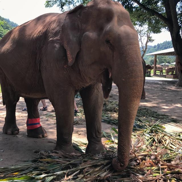 """Feasting Elephant"" stock image"