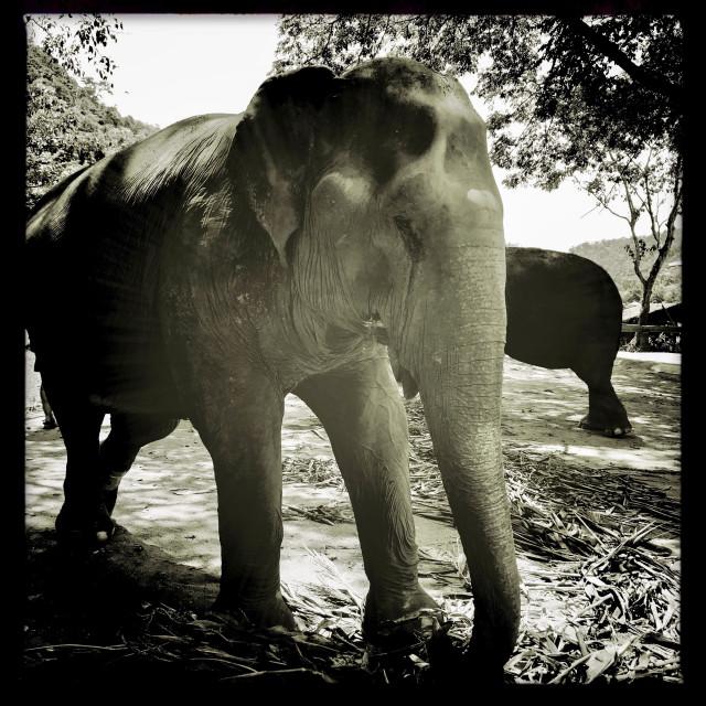 """Monochrome Elephant"" stock image"
