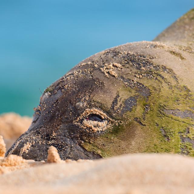 """Hawaiian Munk Seal Resting on the Beach"" stock image"