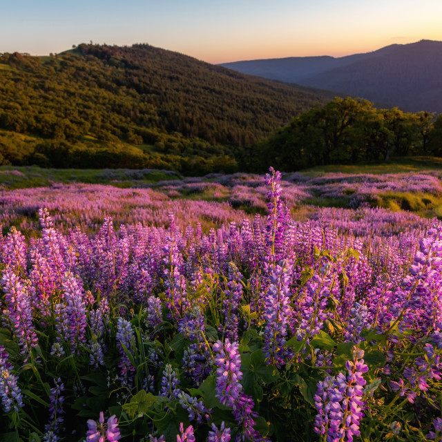 """Wild Lupine Field at Sunset"" stock image"