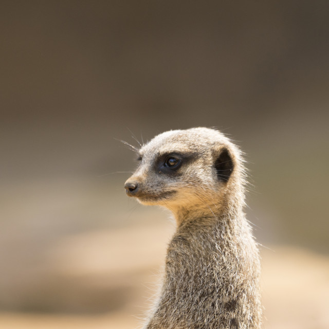 """Meerkat on guard."" stock image"