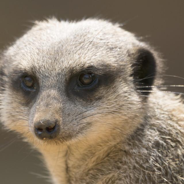 """""""Meerkat close up."""" stock image"""