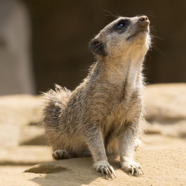 """""""Meerkat."""" stock image"""