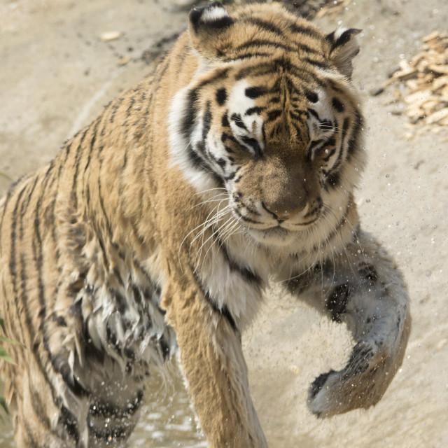 """Tiger bath time"" stock image"