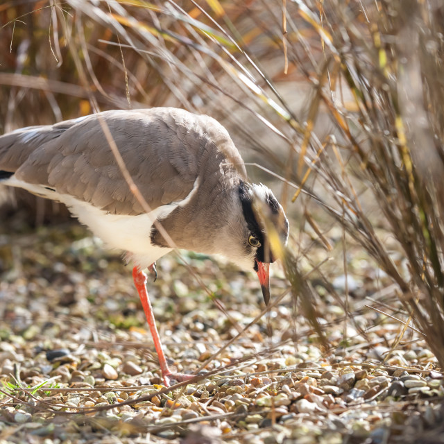 """crowned plover feeding"" stock image"