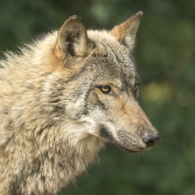 """Wolf"" stock image"