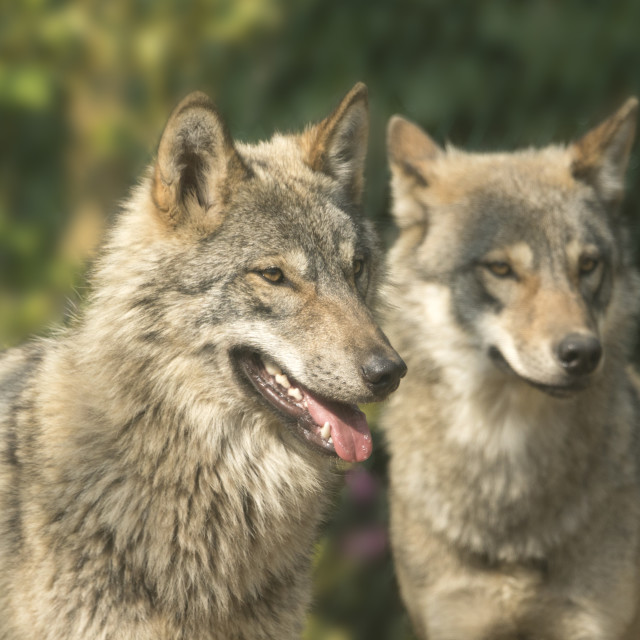 """Wolf pair"" stock image"