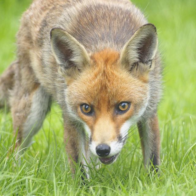 """""""Fox Brief Encounter"""" stock image"""