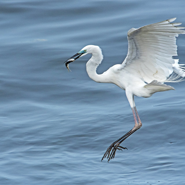 """Great White Egret with Catch (II)"" stock image"