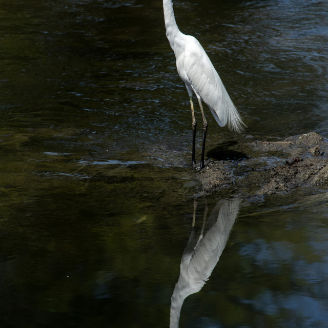"""Great White Egret with Reflection"" stock image"