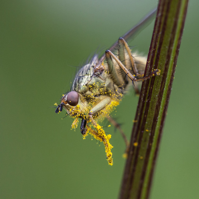 """Pollen Covered Yellow Dung Fly (Scathophaga stercoraria)"" stock image"