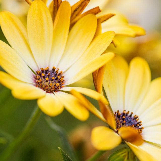 """Osteospermum Yellow Daisies"" stock image"
