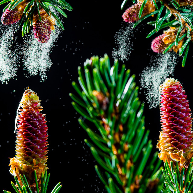 """picea abies"" stock image"