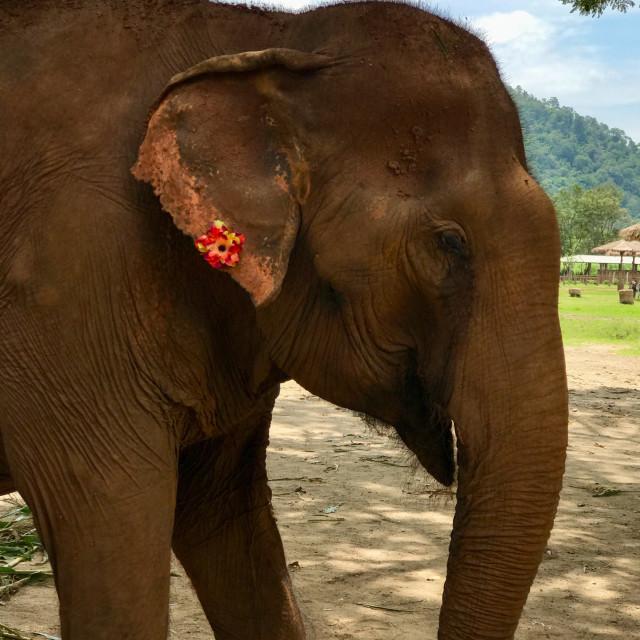 """Elephant with flower"" stock image"