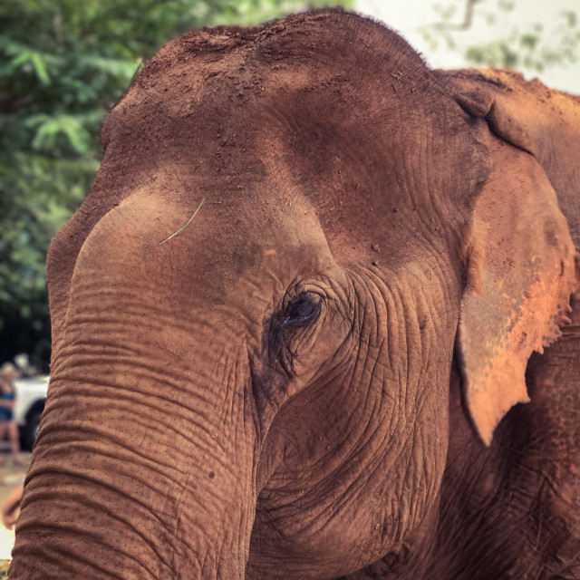 """""""Elephant Face"""" stock image"""