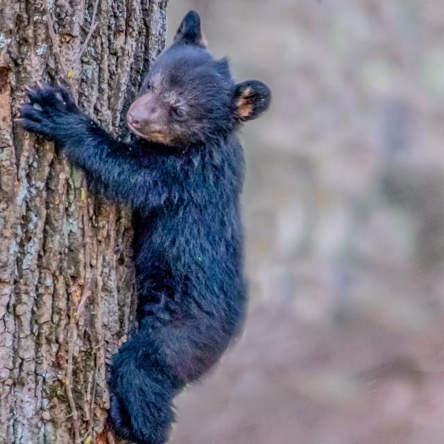 """""""Tiny Bear Clinging to Tree Trunk"""" stock image"""
