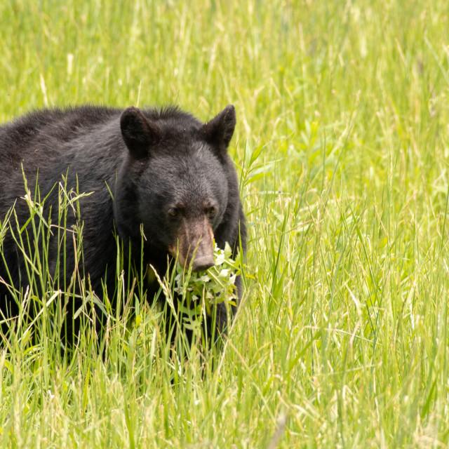 """Black Bear in Meadow Eating Vegetation"" stock image"