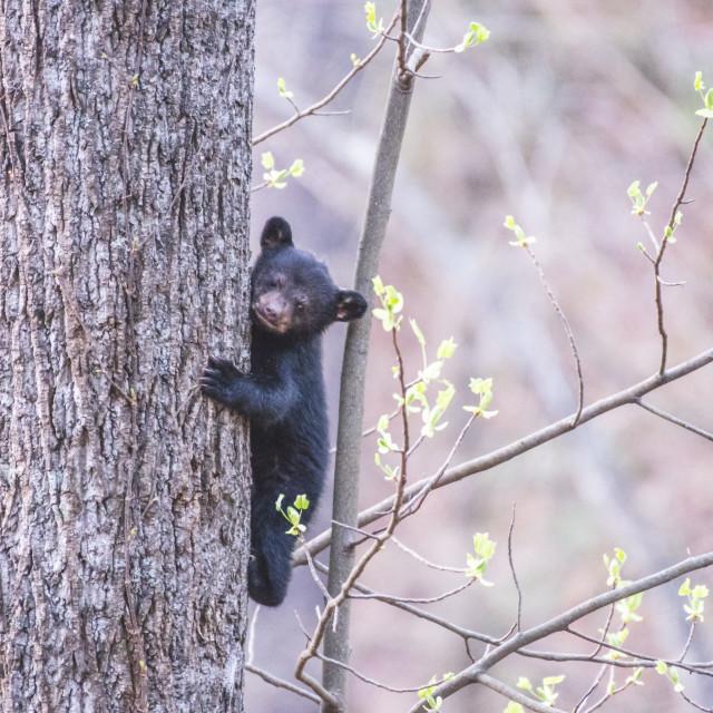 """""""Tiny Bear on Tree looking to Camera"""" stock image"""