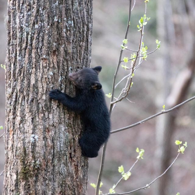 """""""Long Shot of Tiny Bear on Tree Trunk"""" stock image"""