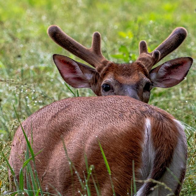 """Male Deer in Velvet looking over his shoulders"" stock image"