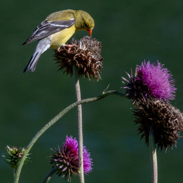 """""""Goldfinch on Thistle"""" stock image"""