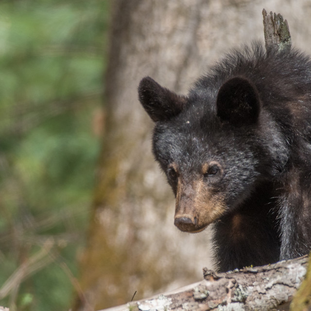 """Newborn Black Bear"" stock image"