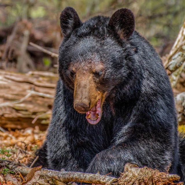 """Smoky Mountain Black Bear"" stock image"