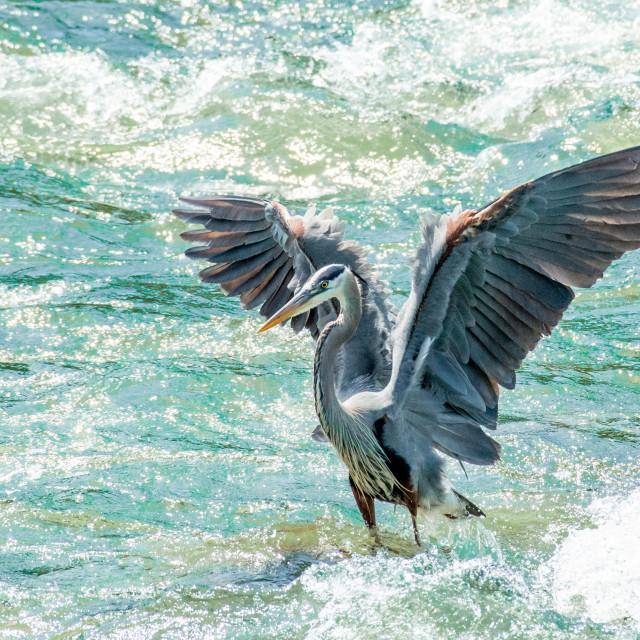 """Blue Heron Dance"" stock image"
