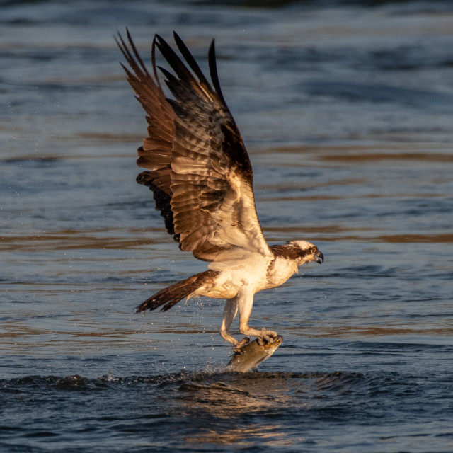 """""""Osprey with Fish"""" stock image"""