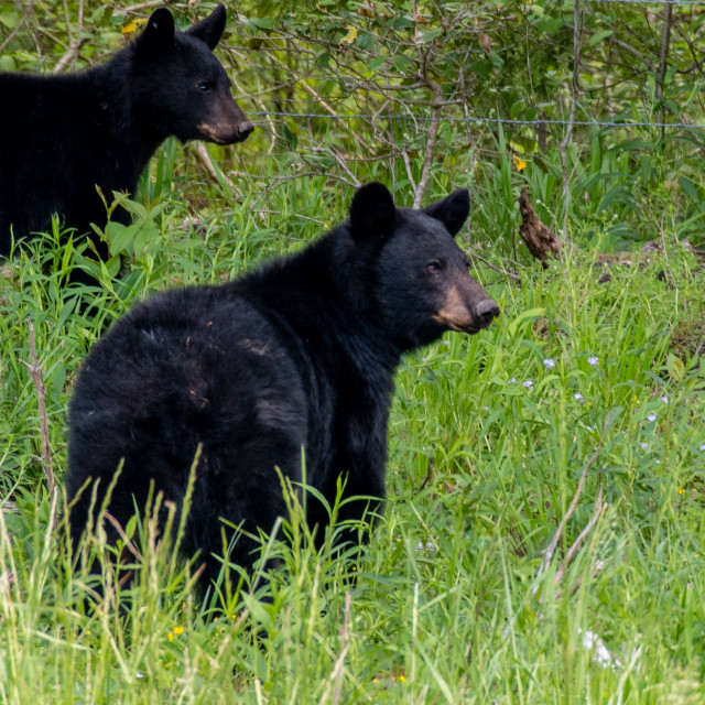 """Two Young Black Bears"" stock image"