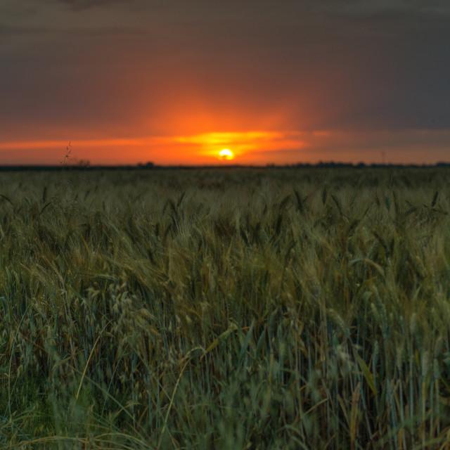 """Sunrise over the corn field"" stock image"
