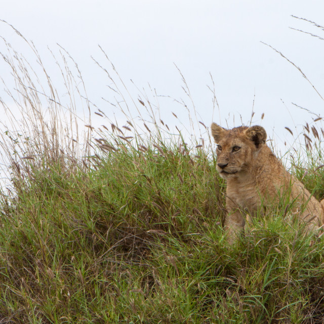 """""""Alert Lion Cub"""" stock image"""