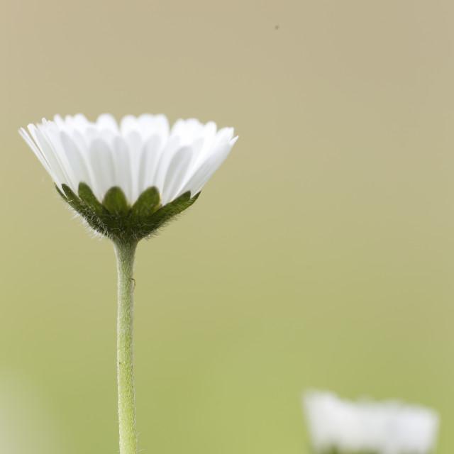 """Bellis perennis, commonly called chiribita, common daisy, pascueta or velvet."" stock image"
