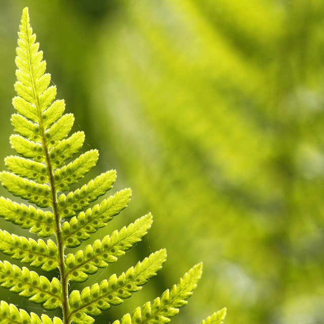"""Ostrich fern, Matteuccia struthiopteris"" stock image"