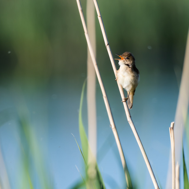 """Singing Reed Warbler sitting on a reed straw"" stock image"
